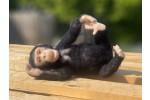 World of Wool - Chico the Chimp (Needle Felting Kit)